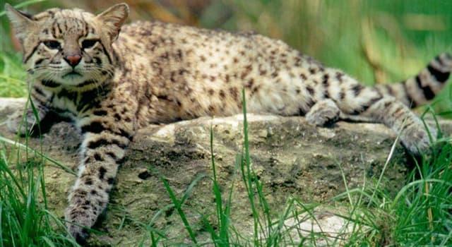 """Naturaleza Pregunta Trivia: ¿En qué continente habita el """"gato de Geoffroy"""" (Leopardus geoffroyi)?"""