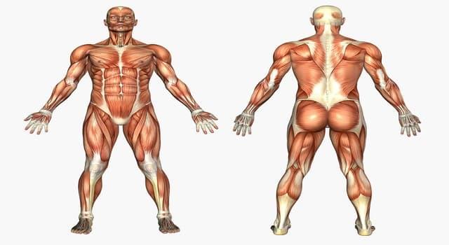 Cultura Pregunta Trivia: ¿En qué parte del cuerpo se localiza el acetábulo?