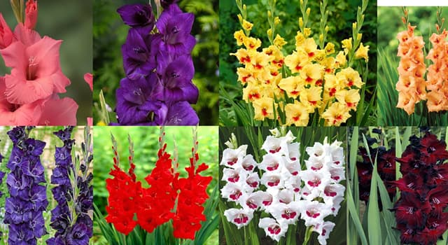 """Naturaleza Pregunta Trivia: ¿En qué provincia de Sudáfrica se encuentra el mayor número de especies de """"Gladiolus""""?"""