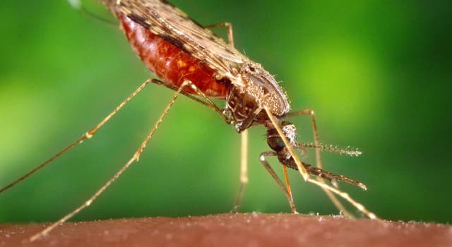 Naturaleza Pregunta Trivia: ¿A qué clase de insectos pertenece el género Anopheles?