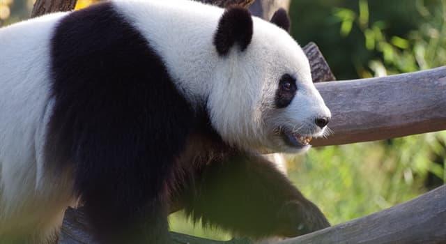 Naturaleza Pregunta Trivia: ¿En qué país están la mayoría de los pandas gigantes del mundo?