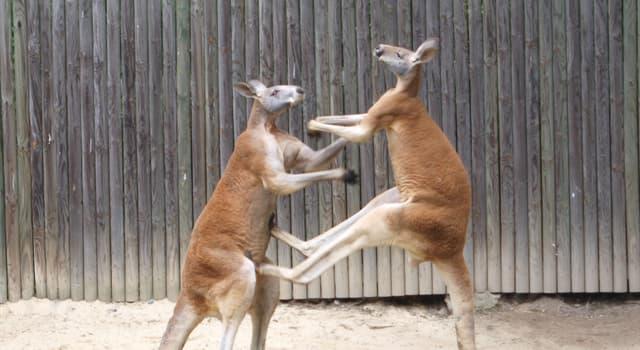 Deporte Pregunta Trivia: ¿El canguro boxeador es el símbolo de qué país?
