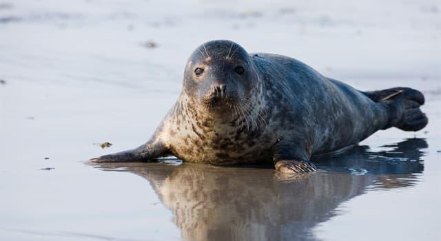 Naturaleza Pregunta Trivia: ¿Por qué algunas focas grises recurren al canibalismo?