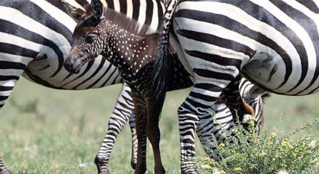 Naturaleza Pregunta Trivia: ¿Por qué hay cebras con manchas y rayas atípicas?