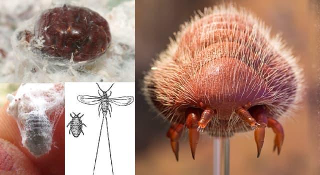 """Naturaleza Pregunta Trivia: ¿Qué se extrae del """"Dactylopius coccus"""" comunmente llamada cochinilla?"""