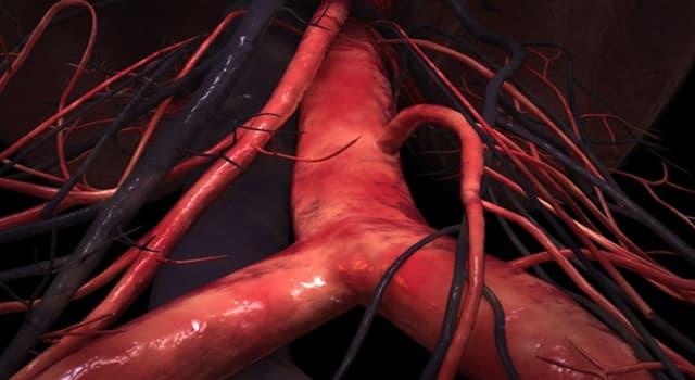 Сiencia Pregunta Trivia: ¿Qué tipo de vaso sanguíneo tiene válvulas que impiden el retroceso de la sangre?