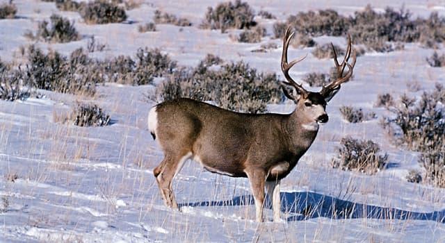 Naturaleza Pregunta Trivia: ¿De dónde es originario el ciervo mulo?