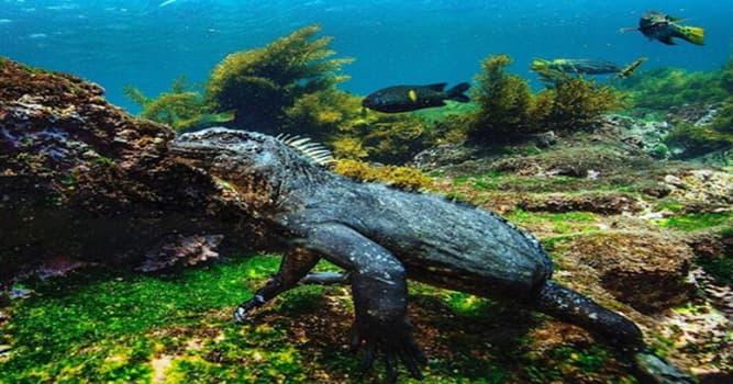 Naturaleza Pregunta Trivia: ¿Cuál es la única especie de iguana conocida que se sumerge en el mar para buscar comida?