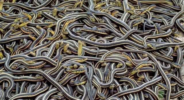 Naturaleza Pregunta Trivia: ¿Cuál es la serpiente venenosa más larga de África?