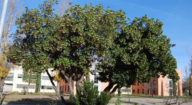 Naturaleza Pregunta Trivia: ¿A qué familia de árboles pertenece el madroño?