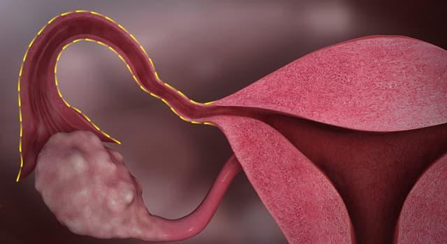 Сiencia Pregunta Trivia: ¿Cómo se llaman los conductos musculares que conectan los ovarios con el útero?