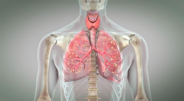Сiencia Pregunta Trivia: ¿Cuál de las siguientes afirmaciones sobre los alvéolos pulmonares es cierta?