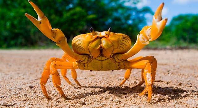 Naturaleza Pregunta Trivia: ¿Cuál de las siguientes afirmaciones sobre los cangrejos es cierta?