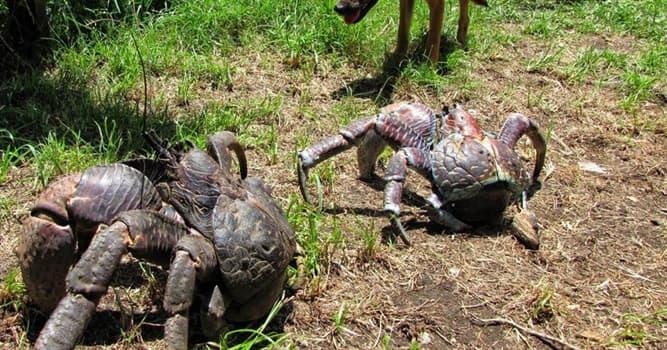 Naturaleza Pregunta Trivia: ¿Cuál es una de las características del cangrejo de los cocoteros?