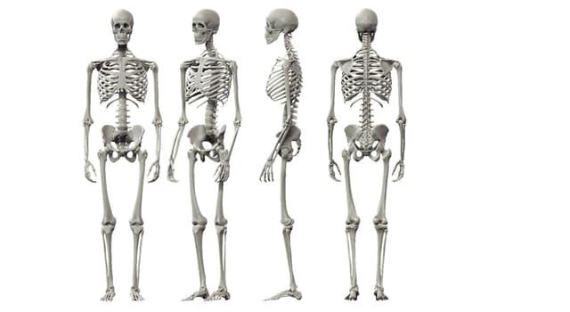 Сiencia Pregunta Trivia: ¿Cuántos huesos forman el esqueleto apendicular en el cuerpo humano?