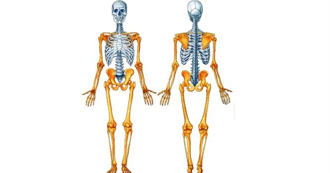 Сiencia Pregunta Trivia: ¿Cuántos huesos forman el esqueleto axial en el cuerpo humano?