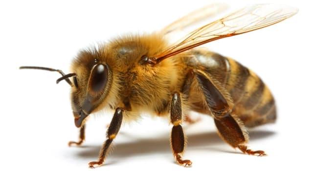 Naturaleza Pregunta Trivia: ¿Cuántos ojos tienen las abejas?
