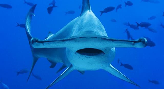Naturaleza Pregunta Trivia: ¿Cuántos sentidos tiene el tiburón martillo?