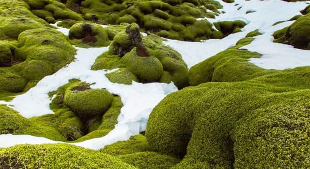 Naturaleza Pregunta Trivia: ¿De qué carecen los musgos?