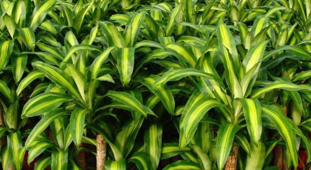 "Naturaleza Pregunta Trivia: ¿De qué continente es nativo el comúnmente llamado ""Palo de Brasil"" o ""Palo de Agua"" (Dracaena fragrans)?"