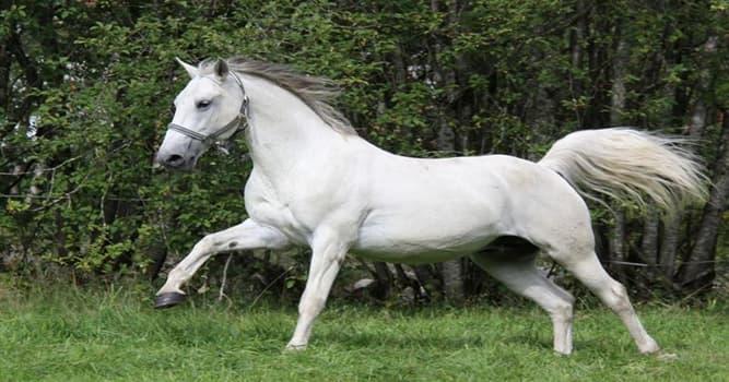 """Naturaleza Pregunta Trivia: ¿De qué país es originaria la raza de caballos llamada """"Lipizzano""""?"""