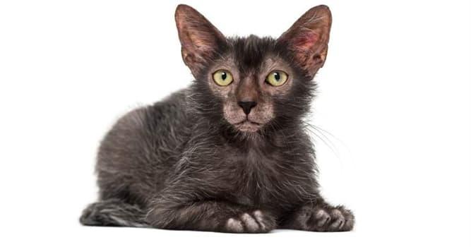 """Naturaleza Pregunta Trivia: ¿De qué país es originaria la raza de gatos llamada """"Lykoi""""?"""