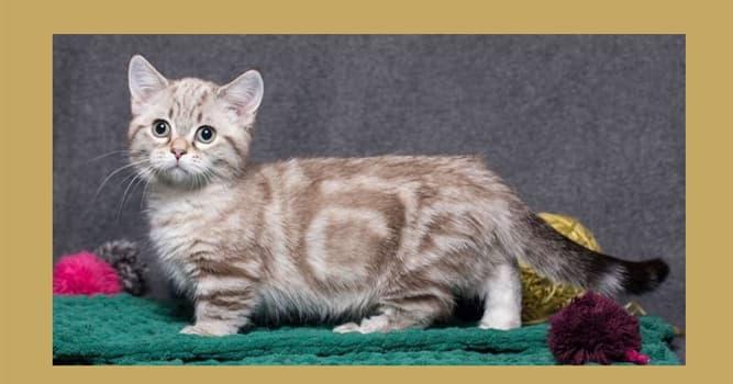 """Naturaleza Pregunta Trivia: ¿De qué país es originaria la raza de gatos llamada """"Munchkin""""?"""