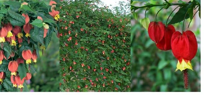Naturaleza Pregunta Trivia: ¿De qué país es originario el arbusto llamado Linterna china o Farolito chino (Abutilon megapotamicum)?