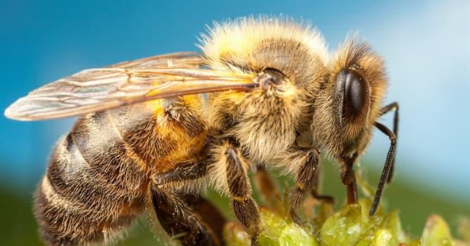 природа Запитання-цікавинка: Як називають бджіл, що крадуть або відбирають їжу інших тварин для себе?