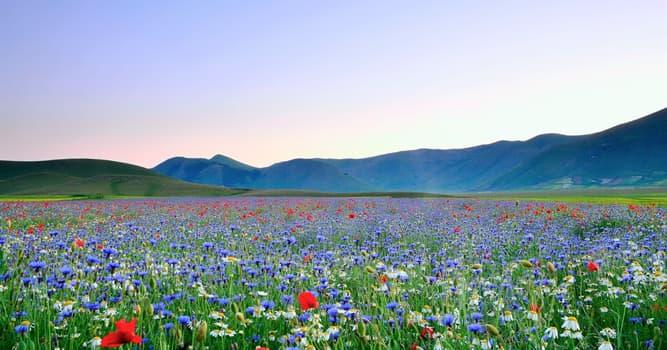 Культура Запитання-цікавинка: Яка квітка є національним символом Голландії?