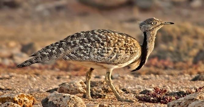 """Naturaleza Pregunta Trivia: ¿Cuál es una característica del ave """"hubara o avutarda hubara""""?"""