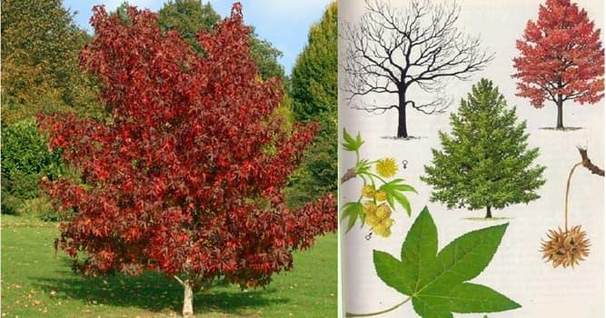 Naturaleza Pregunta Trivia: ¿De qué continente es nativo el árbol llamado liquidámbar?