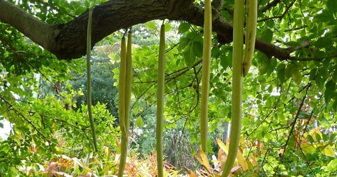 """Naturaleza Pregunta Trivia: ¿De qué país es endémico el árbol llamado """"Palo de velas"""" (Parmentiera cereifera)?"""