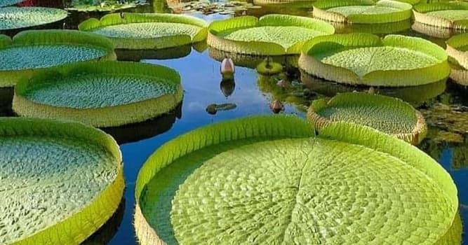 Naturaleza Pregunta Trivia: ¿En dónde crece la flor Victoria Regia, considerada la flor acuática más grande del mundo?