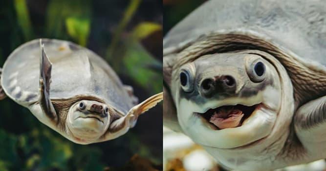 """Naturaleza Pregunta Trivia: ¿En dónde habita la tortuga """"naríz de cerdo""""?"""