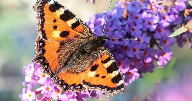 Nature Trivia Question: Which statement about butterflies is not correct?