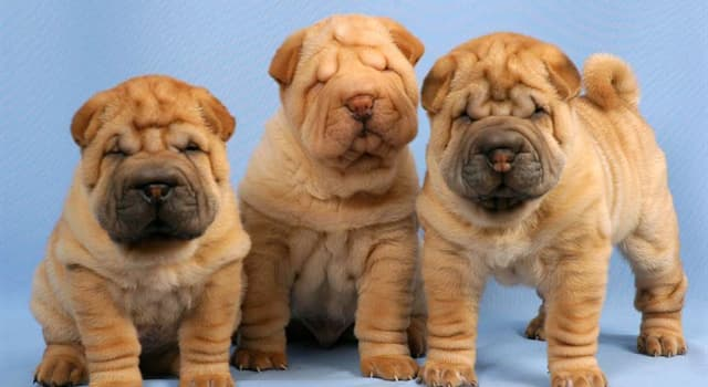 Nature Trivia Question: From which country did the Shar Pei dog breed originate?