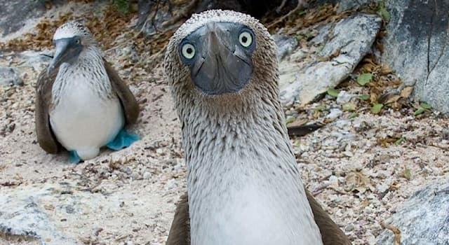 Природа Вопрос: Чем привлекают самок в брачный период представители мужского пола данного вида птиц?