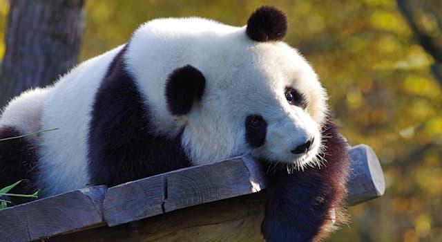 Природа Вопрос: Что с большой вероятностью случится с детенышами панды, если она родит двойню или тройню в зоопарке?