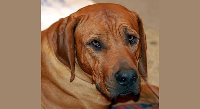 Спорт Вопрос: Что, согласно японской традиции собачьих боёв, должна сделать собака породы тоса-ину, чтобы победить?