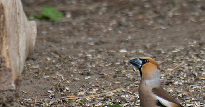 Nature Trivia Question: Which type of animals is the hawfinch?