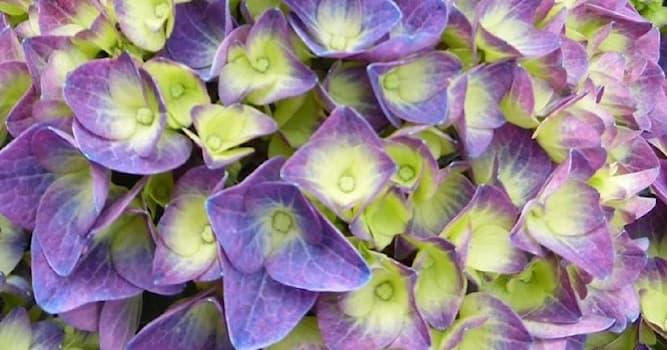 Природа Вопрос: Как дословно переводится название цветка гортензия?