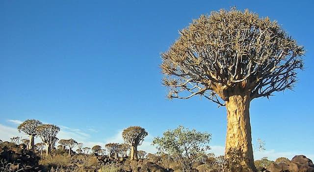 Природа Вопрос: Как по-другому называется алоэ дихотомическое?