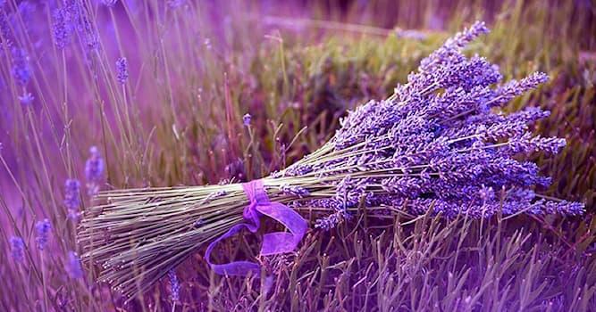 Природа Вопрос: Как с латинского переводится название цветка лаванда?
