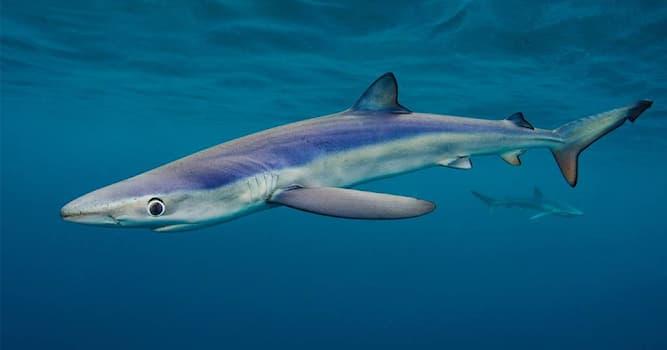 Природа Вопрос: Какая акула изображена на фото?