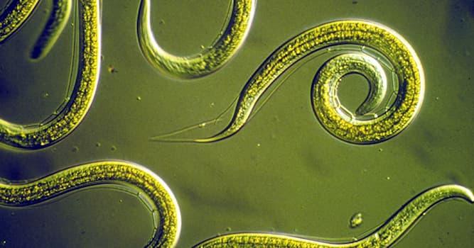 Science Trivia Question: What biological discipline studies parasitic worms?