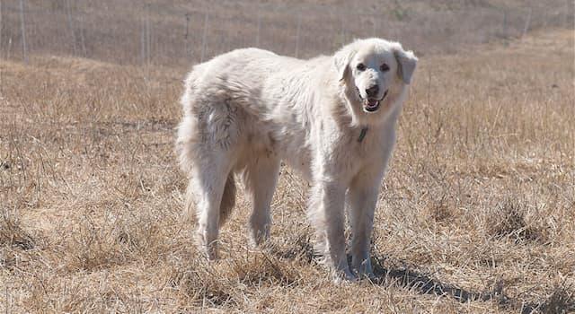 Природа Вопрос: Какая порода собак из перечисленных является турецкой?