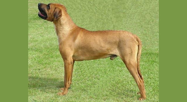 Природа Вопрос: Какая порода собак известна также под названием кари или японский мастиф?