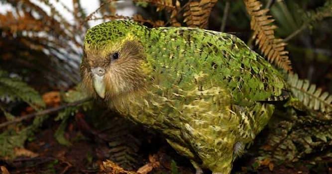 Природа Вопрос: Какой попугай ведет ночной образ жизни, в связи с чем его также называют совиным попугаем?