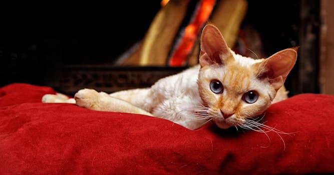 """Природа Вопрос: Какой """"рекс"""" НЕ относится к породе кошек?"""